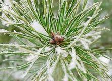 Ramo di un pino Immagini Stock Libere da Diritti