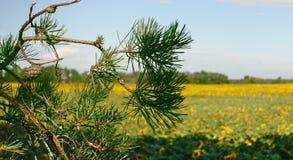 Ramo di un pino contro lo sfondo di un campo giallo dei girasoli immagini stock
