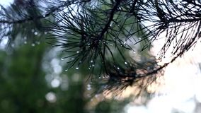 Ramo di un pino dopo una pioggia stock footage