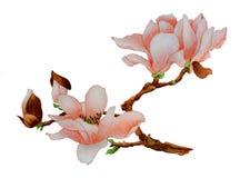 Ramo di una magnolia di fioritura illustrazione di stock