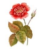 Ramo di una rosa con un germoglio Isolato su priorità bassa bianca Immagine Stock