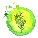 Ramo disegnato a mano dei rosmarini con le foglie isolate su bianco Erbe piccanti disegnate a mano Scarabocchio che cucina ingred Fotografia Stock Libera da Diritti