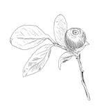 Ramo disegnato a mano del mirtillo in bianco e nero di vettore illustrazione di stock