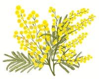 Ramo disegnato a mano della mimosa isolato su fondo bianco royalty illustrazione gratis