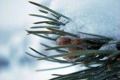 Ramo do abeto vermelho sob a neve do inverno imagens de stock royalty free
