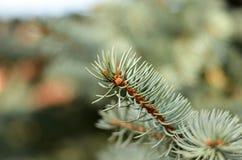 Ramo do abeto vermelho verde Fotografia de Stock Royalty Free