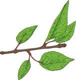 Ramo do abricó com folhas verdes Fotografia de Stock