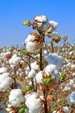 Ramo do algodão maduro Fotografia de Stock
