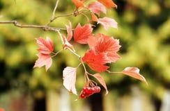 Ramo do arbusto do Viburnum Imagens de Stock Royalty Free