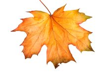 Ramo do bordo do outono com as folhas isoladas Fotos de Stock Royalty Free
