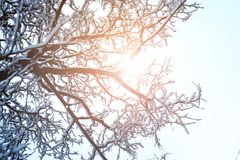 Ramo do céu da árvore no inverno da floresta fotografia de stock royalty free