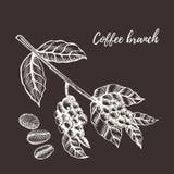 Ramo do café com baga Ilustração desenhada mão Imagens de Stock