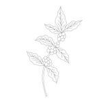 Ramo do café, planta com folha, baga ilustração stock