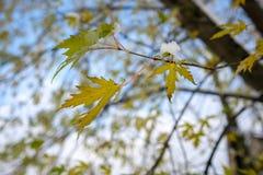 Ramo do carvalho vermelho com folhas e neve Fotografia de Stock Royalty Free