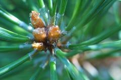 Ramo do close-up do pinho em uma manhã do verão Fotos de Stock Royalty Free