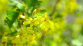 Ramo do corinto de florescência que balança no vento, corintos amarelos das flores no ramo vídeos de arquivo