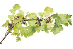 Ramo do corinto preto com folhas luxúrias Fotos de Stock Royalty Free