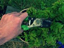 Ramo do corte da mão do jardineiro no hornbeam dos bonsais Copa de árvore da limpeza Fotos de Stock