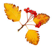 Ramo do espinho em cores do outono Fotografia de Stock Royalty Free