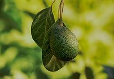 Ramo do fruto de abacate Imagens de Stock Royalty Free