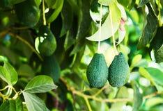 Ramo do fruto de abacate Imagem de Stock
