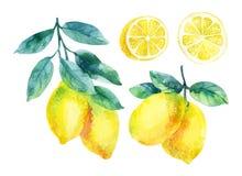 Ramo do fruto do limão da aquarela com as folhas isoladas no branco