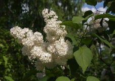 Ramo do lilás branco de florescência Foto de Stock Royalty Free