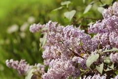 Ramo do lilás cor-de-rosa em um jardim, parque Flores de florescência bonitas da árvore lilás na mola Conceito da mola Imagens de Stock