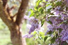 Ramo do lilás cor-de-rosa em um jardim, parque Flores de florescência bonitas da árvore lilás na mola Conceito da mola Imagem de Stock