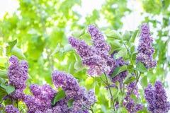 Ramo do lilás roxo de florescência fotos de stock royalty free