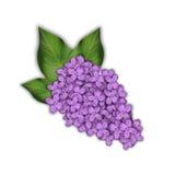 Ramo do Lilac em um fundo branco Flores roxas Fotos de Stock