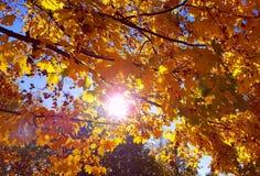 Ramo do outono com folha amarela brilhante da árvore de bordo e da luz solar fotos de stock royalty free