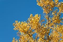 Ramo do outono com folhas de bordo Fotos de Stock Royalty Free