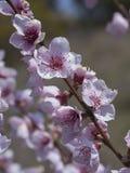 Ramo do pêssego na flor completa fotografia de stock