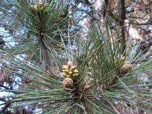 Ramo do pinho com as agulhas do verde longo e os cones pequenos Foto de Stock