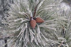 Ramo do pinho com os cones do pinho cobertos com o close-up da geada Foto de Stock