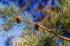Ramo do pinho com os cones do pinho no fundo do céu azul Foto de Stock Royalty Free