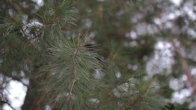 Ramo do pinho na floresta do inverno video estoque