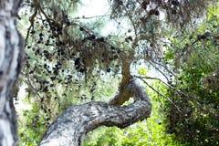Ramo do pinho na floresta turca foto de stock