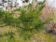 Ramo do pinho que cresce no parque na vista dianteira fotos de stock