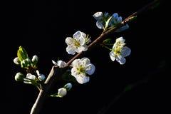 Ramo do Prunus Avium da árvore de cereja com flores e botões no fundo escuro Imagem de Stock