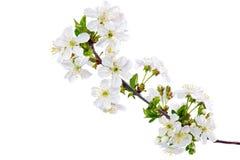 Ramo do ramo com flores. Isolado no fundo branco. Imagem de Stock