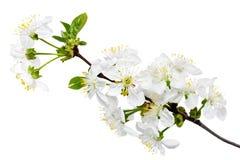 Ramo do ramo com flores. Isolado no fundo branco. Imagens de Stock Royalty Free