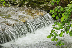 Ramo do ribeiro e da avelã da montanha com folhas Foto de Stock