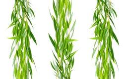 Ramo do salgueiro com folhas em um fundo branco Imagem de Stock Royalty Free