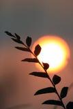 Ramo do salgueiro contra o sol da noite África do Sul Fotografia de Stock Royalty Free