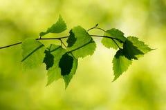 Ramo do vidoeiro na floresta Imagem de Stock