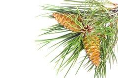 Ramo dos cones da árvore e do pinho de Natal cobertos com a neve no fundo isolado Imagens de Stock