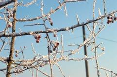 Ramo e bacca di albero nella neve Fotografia Stock Libera da Diritti