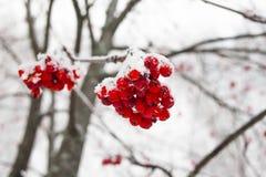 Ramo e bagas da cinza de montanha no inverno de congelação imagem de stock royalty free